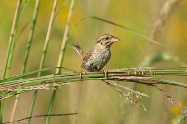 While this can be a hard species to find in many locations, Henslow's Sparrows are very common breeders at Goose Pond.