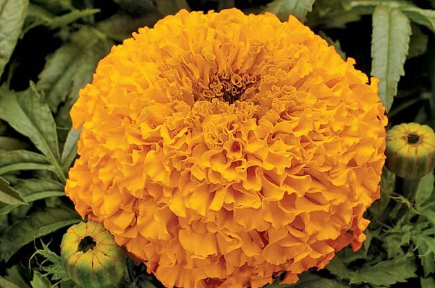 Top 10 Award-Winning Hummingbird Flowers: Moonsong Deep Orange marigold