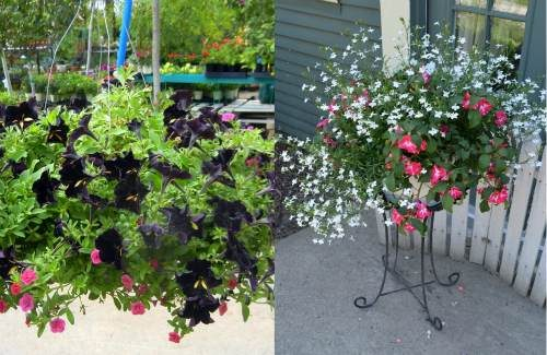 New_Varieties_Flowering_Annuals