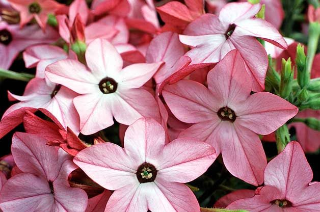Top 10 Award-Winning Hummingbird Flowers; Avalon Bright Pink nicotiana