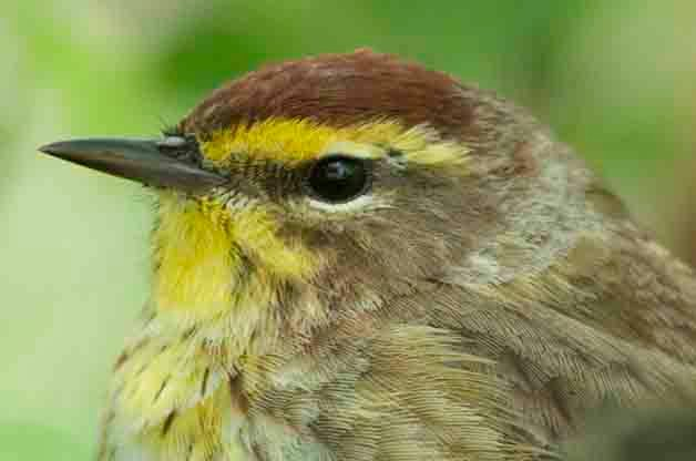 This Palm Warbler approached me very closely and overall seemed unaware of my presence. I took this photo several years ago at Magee Marsh.