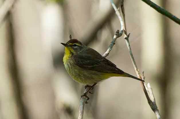 Palm Warblers can be identified by their rusty caps and yellow undertail coverts as well as their constant tail bobbing.