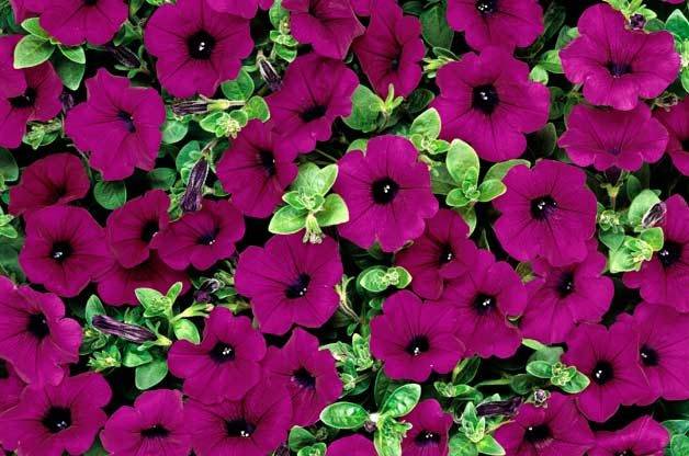 Top 10 Award-Winning Hummingbird Flowers: Purple Wave petunia