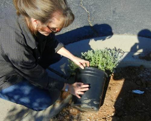 Gardening Basics: Planting Shrubs