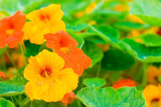 Top 10 Foolproof Plants for Kids: Nasturtiums