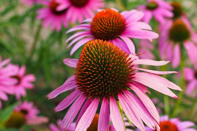 Top 10 Foolproof Plants for Kids: Purple coneflowers
