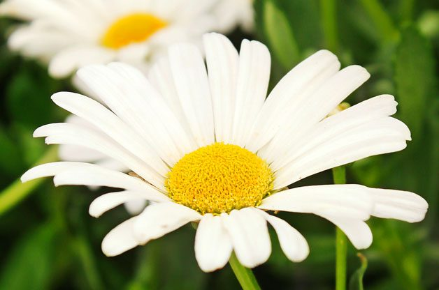 Top 10 Foolproof Plants for Kids: Shasta Daisies