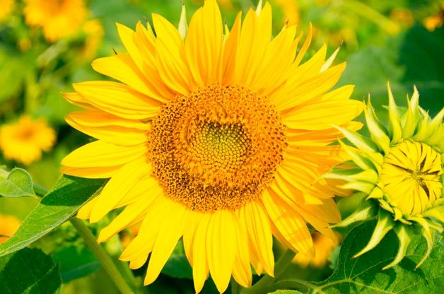 Top 10 Foolproof Plants for Kids: Sunflowers