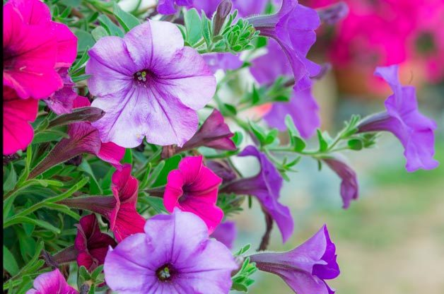 Top 10 Foolproof Plants for Kids: Petunias