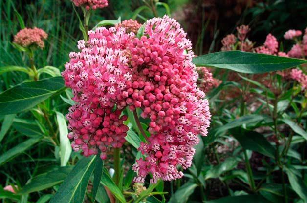 Top 10 Foolproof Plants for Kids: Milkweed