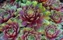 Top 10 Foolproof Plants for Kids: Hens-and-chicks