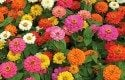 Top 10 Foolproof Plants for Kids: Zinnias