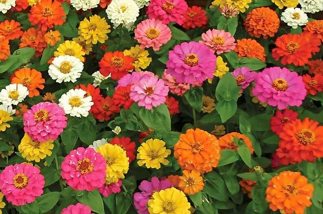 easy Plants for Kids to grow: Zinnias