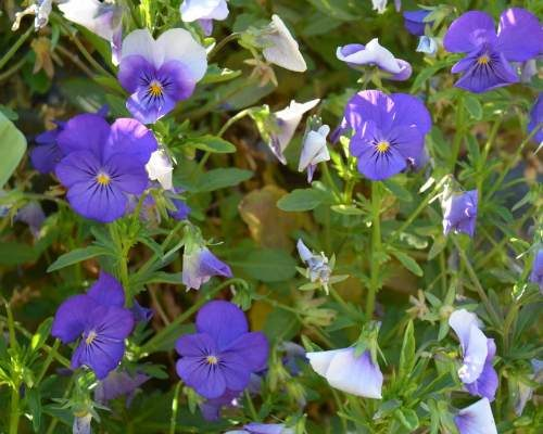 Purple_Violas
