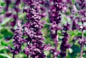 Top 10 Award-Winning Hummingbird Flowers: Evolution salvia