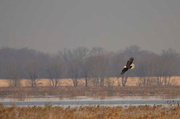 A view of the frozen wetlands during the winter months with a Bald Eagle soaring over.