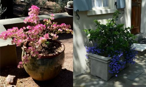 Shrubs_as_Container_Plants