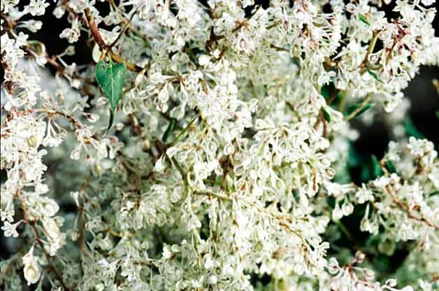 Top 10 Climbing Plants For Fall Color Gardenpicsandtips Com
