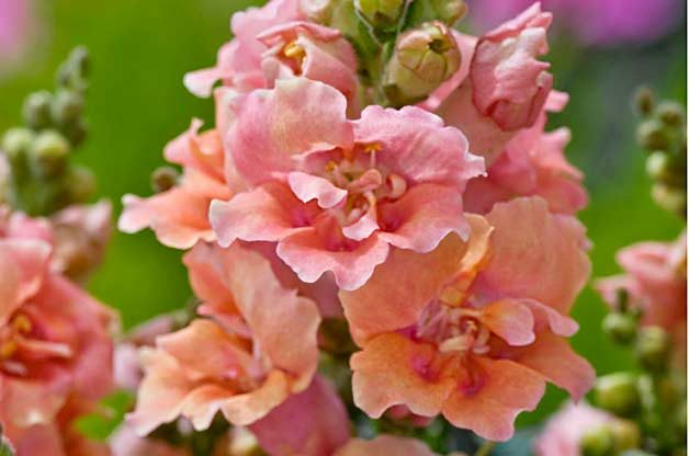 Top 10 Award-Winning Hummingbird Flowers: Twinny Peach snapdragon