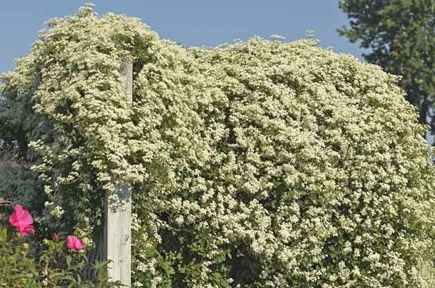 Top 10 Backyard Vines With Fall Flair: Sweet Autumn clematis