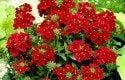 Top 10 Award-Winning Hummingbird Flowers: Quartz Burgundy verbena