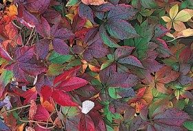 Top 10 Backyard Vines With Fall Flair:Virginia creeper