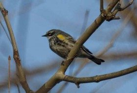 One of many Yellow-rumped Warblers that I found today.