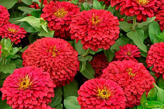 Top 10 Award-Winning Hummingbird Flowers: Magellan Coral zinnia
