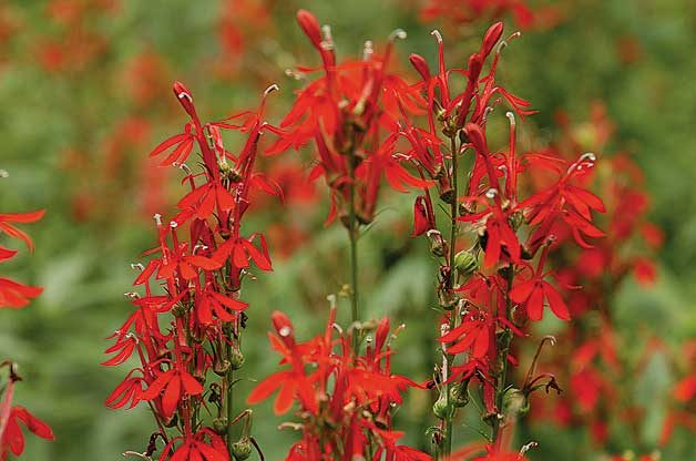 Top 10 Red Flowers to Attract Hummingbirds