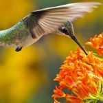 Immature ruby-throated hummingbirds fuel up on late bloomers like butterfly weed before migrating south.