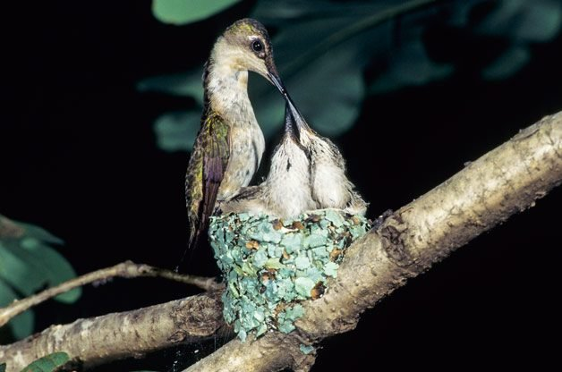 DID YOU KNOW? Female hummingbirds do all the work of nest-building and raising their young by themselves. Here, you can see the progression of tiny eggs (left) becoming two baby hummers about to fledge the nest (below).
