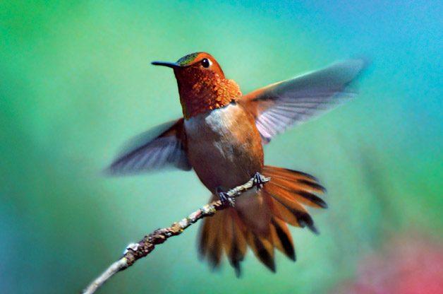 Rufous hummingbird among red-flowered currants