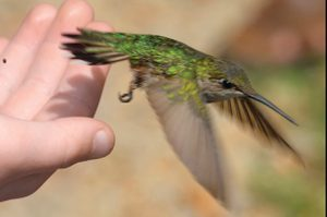 Newly-banded Hummingbird takes off!
