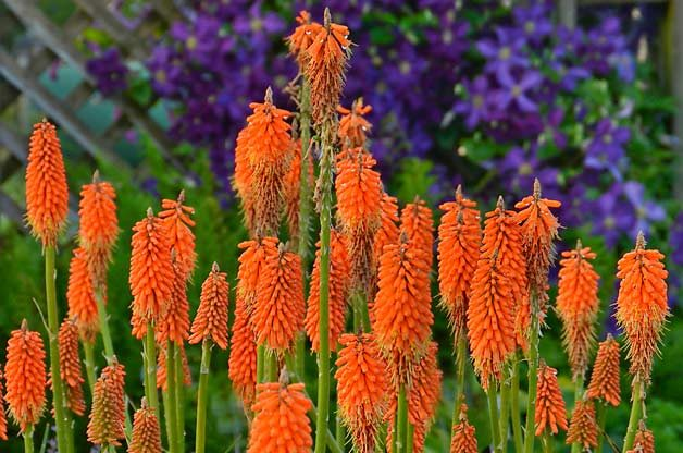Top 10 Hummingbird Flowers and Plants: Red hot poker