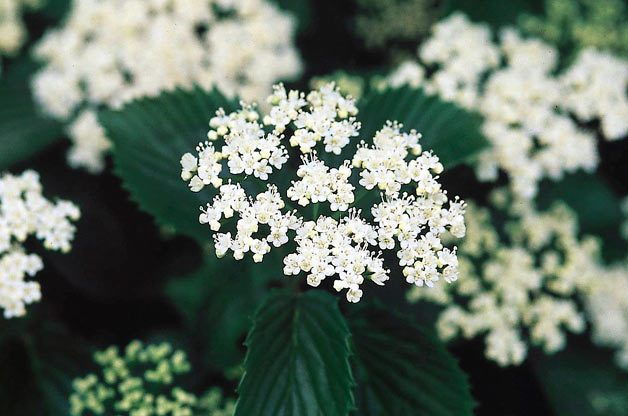 Top 10 Hummingbird Flowers and Plants: Viburnum