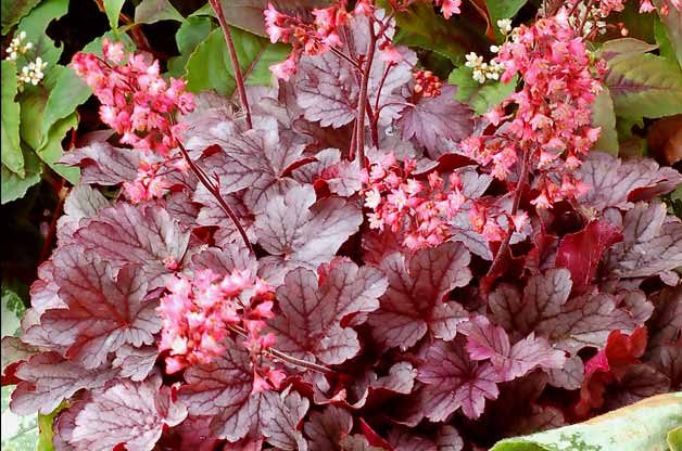 Top 10 Hummingbird Flowers and Plants: Coral bells