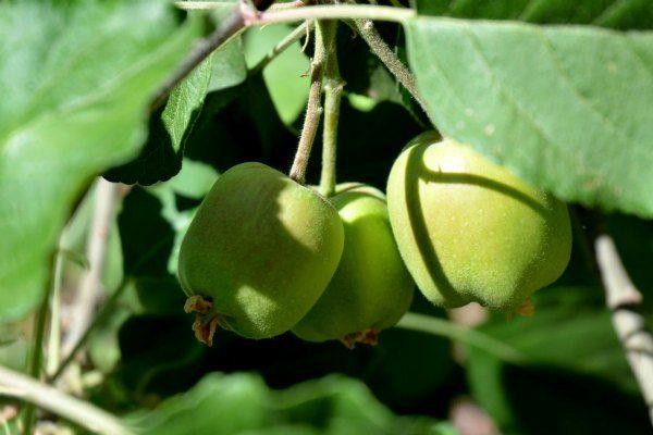 new_apples_on_tree