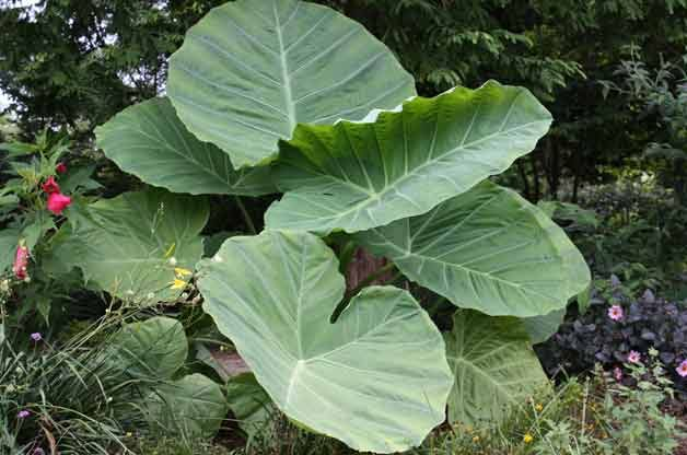 Top 10 Foolproof Plants for Kids: Elephant's ear