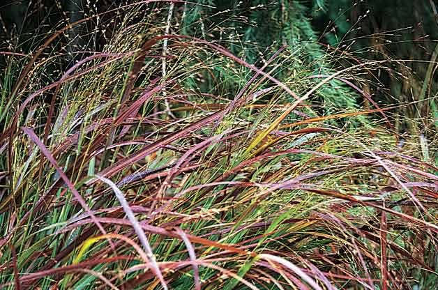 Top 10 Year-Round Perennials: Switchgrass