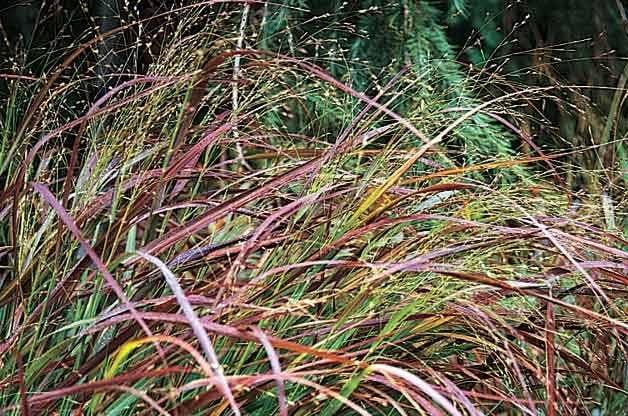 Top 10 Year-Round Perennials: Switchgrass