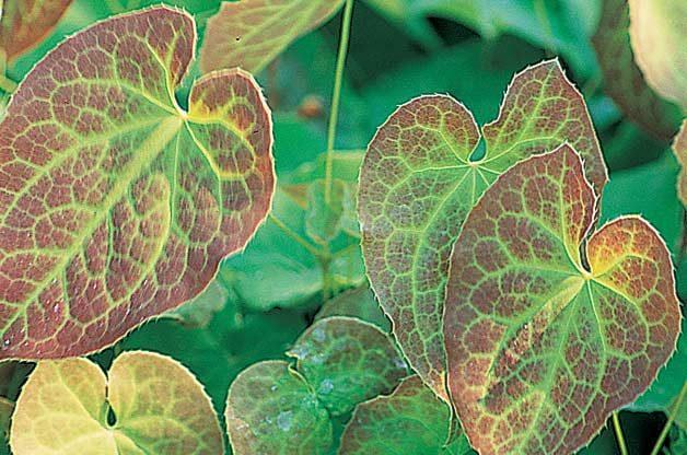 Top 10 Year-Round Perennials: Barrenwort