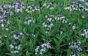 Top 10 Year-Round Perennials: Bluestar