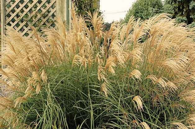Top 10 Year-Round Perennials: Japanese silver grass