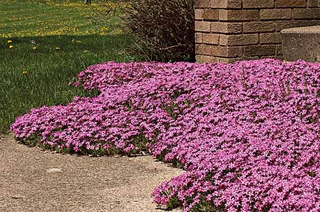 Low growing perennial flowers bing images for Low maintenance perennials for shade