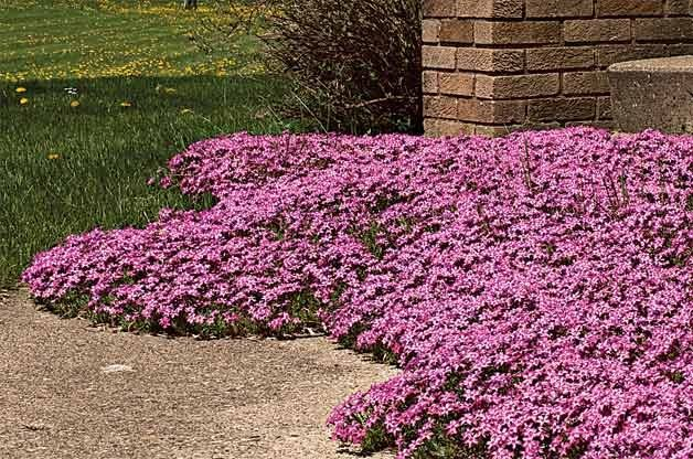 Top 10 Year-Round Perennials: Creeping phlox