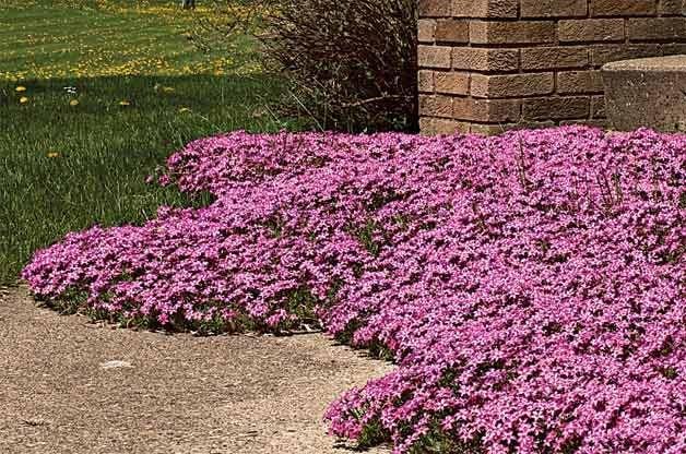 Top 10 Year-Round Perennials: Creeping phlox
