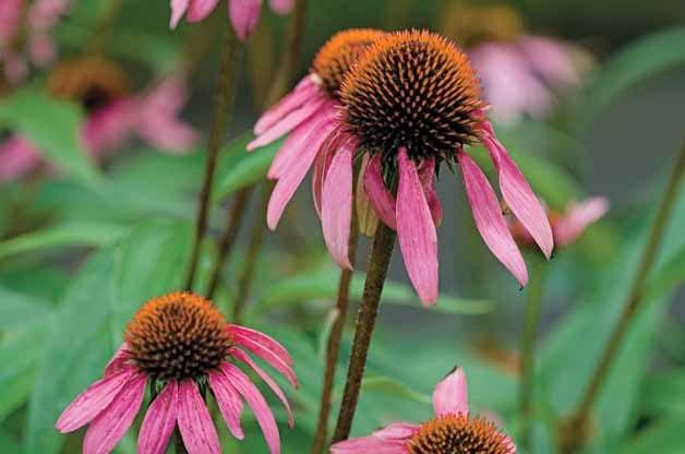 Top 10 Year-Round Perennials: Coneflower