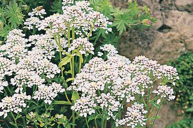 Top 10 Year-Round Perennials: Candytuft