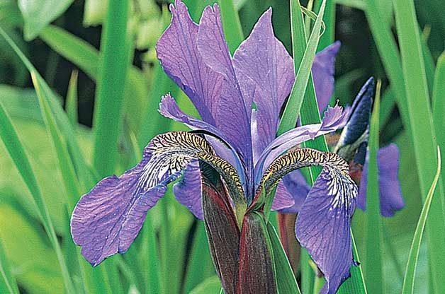 Top 10 Year-Round Perennials: Siberian iris