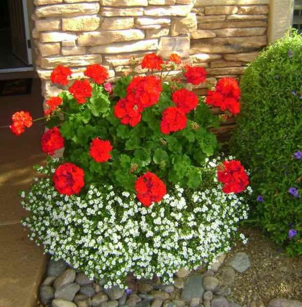 Plant Geraniums Containers bacopa and geraniums are best container plants